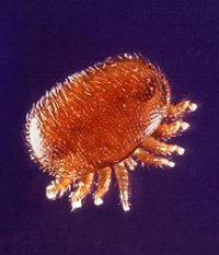 Varroa Mite from Wikipedia