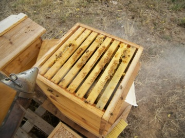 Smoking the Bees Back into the Warre Hive